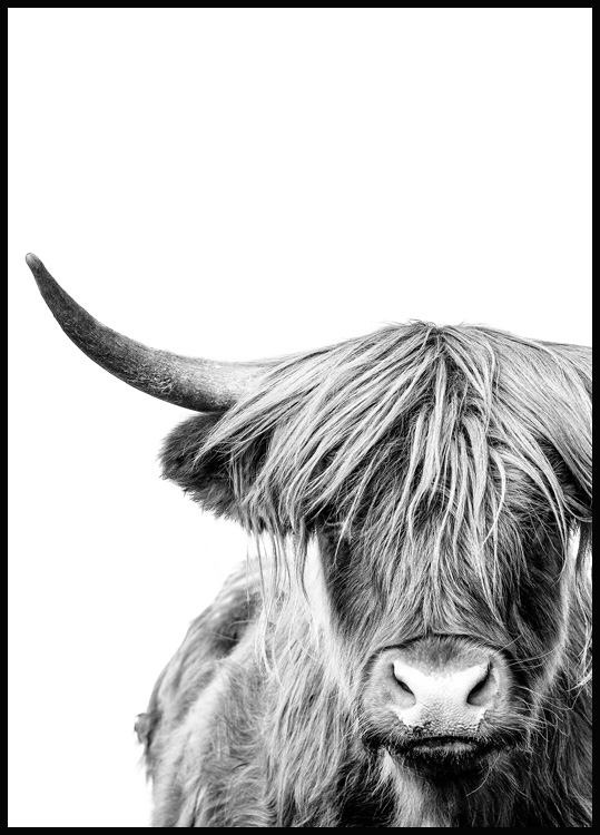 Highland Cow Close Up Poster